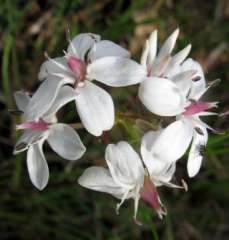 Milkmaid flower