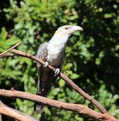 Baby cuckoo