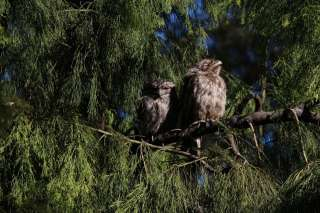 Frogmouth owls