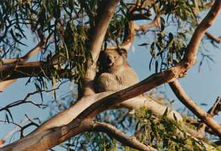 Koala at North Arm Cove