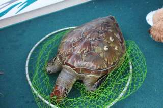 Turtle at Port Stephens