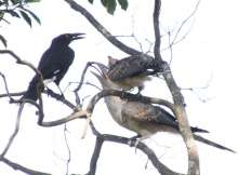 Baby cuckoos with adoptive parent